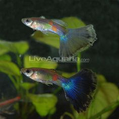 "Blue Delta Guppy Minimum Tank Size: 20 gallons Care Level: Easy Temperament: Peaceful Water Conditions: 64-82° F, KH 10-30, pH 5.5-8.0 Max. Size: 2½"" Color Form: Blue, Yellow Diet: Omnivore Family: Poeciliidae"