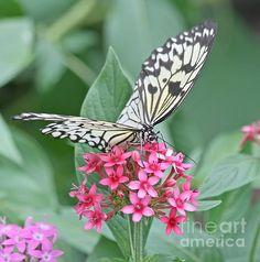 Paper Kite Butterfly - 2 by Kim Hojnacki