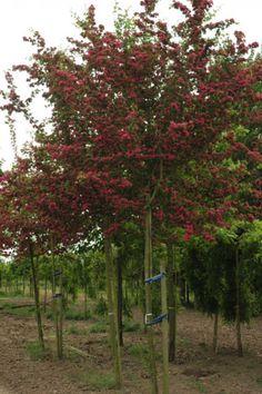 Rode Doorn | Rode Doorn ook Rode Meidoorn genaamd is een kleine boom | Bomenenzo