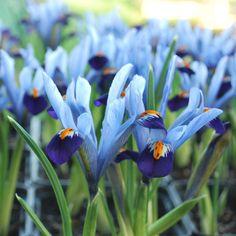Iris reticulata 'Gordon' - Rose Cottage Plants