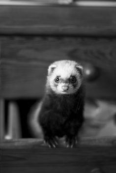 ferret.  Homemade fleece ferret hammock!  http://www.pinterest.com/pin/61361613644917685/