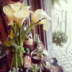 A vitrine ganhou copos de leite hoje. Se você não sabe qual a melhor planta para a sua casa, vem que eu te ajudo! Tenho opções para casas com pouca ou muita iluminação. #plantshop #curitiba #curitibacool #plants #terrarium #plantas #borealisplantas