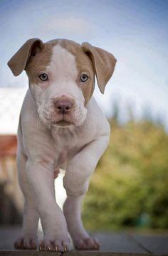 #Pitbull #Dogs #Puppy #pitbulls