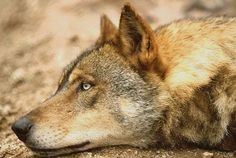 Don't let our wolves become homeless by Grupo Lobo. Please visit our webpage campaing http://igg.me/p/175073?a=848902