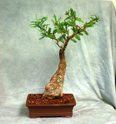 Cypress Knee with Thread Graft Very RARE Bonsai Tree 1 of A Kind | eBay