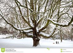 Powerful Old Tree In The Snow. Stock Images - Image: 27949324