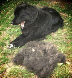 """Neufundländer Wynia """"Nur kurz kämmen"""" hat Frauchen gesagt und dann das! Hab ich ein Haarproblem? #Hundename: Wynia / Rasse: #Neufundländer      Mehr Fotos: https://magazin.dogs-2-love.com/foto/neufundlander-wynia-6/ Foto, Hund"""