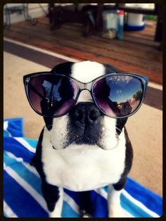 232 Best Boston Terriers images  68703dd0f674