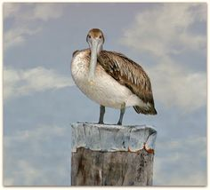 Brown Pelican by SalemCat.deviantart.com  Taken in Cocodrie Louisiana on 2-21-2010