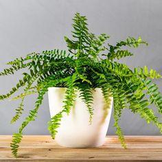 Indoor Fern Plants, Sword Fern, Easy House Plants, Plants For Sale Online, Staghorn Fern, Boston Ferns, Asparagus Fern, Peat Moss, Perfect Plants