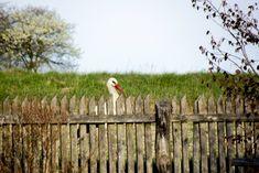 Bocian za płotem agroturystyki :) Stork, Animals, Animales, Animaux, Animal, Animais