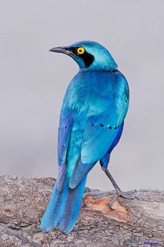 Greater Blue-eared Glossy Starling (Lamprotornis chalybaeus