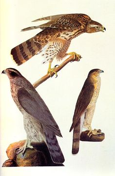 John James Audubon Paintings 40.jpg