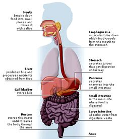 Body basics digestive system click here for a full diagram scroll find out about your digestive system here and play great interactive games perfect for middle ccuart Image collections