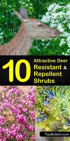 10 Attractive Deer Resistant and Repellent Shrubs