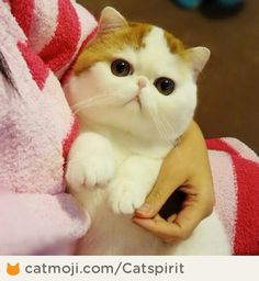 He doesn't look real! Snoopy the exotic Scottish Fold Munchkin cat Cute Kittens, Cats And Kittens, Animals And Pets, Baby Animals, Funny Animals, Cute Animals, Pretty Cats, Beautiful Cats, Animals Beautiful