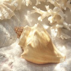 Coral Shell IV Art Print by Donna Geissler at Art.com