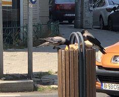 #Pauza de #pranz a #ciorilor / #Crows' #lunch break