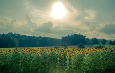 Check out Field of sun Flowers by ChristianThür Photography on Creative Market Late Summer, Nature Photos, Design Projects, Sun Flowers, Creative, Pictures, Photography, Outdoor, Check