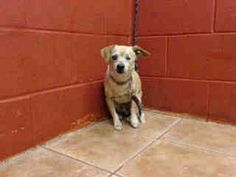 10 YEAR OLD OWNER SURRENDER NEEDS PLEDGES AND RESCUE! A4803687 My name is Bottles and I'm an approximately 10 year old male chihuahua sh. I am already neutered. I have been at the Downey Animal Care Center since February 26, 2015. I am available on February 26, 2015. You can visit me at my temporary home at D419. https://www.facebook.com/photo.php?fbid=822151887865145&set=pb.100002110236304.-2207520000.1424997154.&type=3&theater