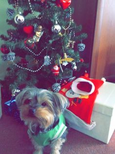 ~ Daily Dose of Cuteness ~  My dog Barbie is very curious and try to find her cookies gift under the Christmas tree.She is so clever she did not forget her last year gift package.And she is looking at me so sweety like naughty child. (Shared by Hayriye Gonen) #DogoftheDay http://aboutmorkies.com/ Follow us: Facebook.com/YorkiesMorkiesMaltese Twitter.com/morkienation #yorkies #yorkie #yorkielovers #petlovers #adorablepets #sillydogs #instadogs #instayorkie
