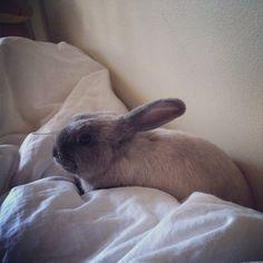 #lolalapin #minilop #bunny #rabbit #petstagram
