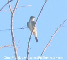 Olive Sided Flycatcher, Young Conservation Area, Missouri (Gina Mikel, scientificillustrator.com)