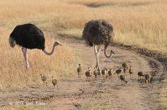 Ostrich-Common-CAD_5859.pbase_.jpg (800×532)
