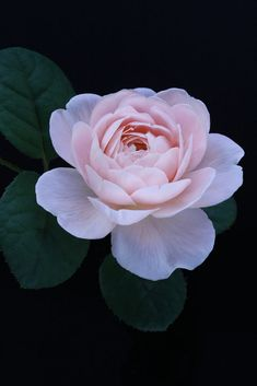 What To Search For Right Before You Purchase Your Higher Than Floor Pool English Rose Exotic Flowers, Amazing Flowers, Beautiful Roses, Beautiful Flowers, Piones Flowers, Purple Flowers, Peony Flower, Cactus Flower, My Flower