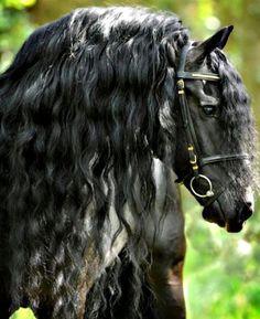 #horses Friesian.... gorgeoussss