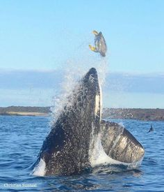 Galapagos - male Orca tossing a sea turtle into the air. Instagram @sevenseasoffreedom.