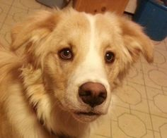 NEW ENGLAND....Say hello to Seth. He is a happy active border collie mix who embodies all the traits of what we love about herding breeds. Seth is 1 and 1/2 years old and is as smart as whip. Seth has excellent house manners. If you can foster or adopt this cute boy, email Colleen@bigfluffydogs.com today.