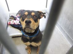 "PUPPY ROTTIE [[SHARE]] CHARLIE  A4564493 [[PLEDGE]] *Baldwin shelter 626-962-3577*  Charlie is a gentle giant - a big, goofy one year old brown and black neutered male Rottweiler mix puppy who was dumped at the Baldwin Park Shelter by his former owner, who had ""no time for him"", on April 15th. Weighing seventy pounds, Charlie can already sit on command but will benefit from additional training and socialization. He loves people! VIDEO http://www.youtube.com/watch?v=dE2LBM0bz2Y"