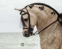 PSL stallion Adagio, owned by Clemence Faivre ( during our photoshoot in Sanlucar de Barrameda Beach. Equestrian Photography Tour in Spain 2016 by PSL stallion Adagio, owned by Clemence Faivre ( during our photoshoot in . All The Pretty Horses, Beautiful Horses, Animals Beautiful, Andalusian Horse, Friesian Horse, Arabian Horses, Zebras, Horse Braiding, Horse Face