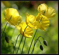 Yellow Poppies - Agita Leimane
