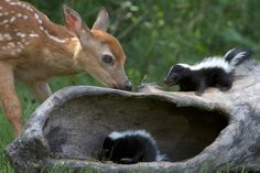 Real life Bambi and Flower!  I want a skunk for a pet so much it hurts.