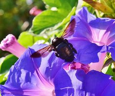 Carpenter Bee 1 by Linda Brody