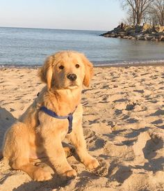 The Friendly Golden Retriever Dog Grooming Golden Retriever Cartoon, Retriever Puppy, Dogs Golden Retriever, Golden Retrievers, Cute Dogs And Puppies, I Love Dogs, Doggies, Golden Retriever Training, Dog Corner