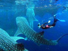 Si visitas Cancún durante la temporada de Avistamiento de Ballenas no te pierdas el tiburón ballena. Una experiencia que tienes que vivir.