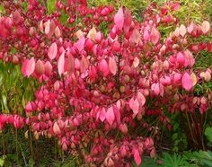 """Euonymus alatus 'Compactus' Shrub. """"winged spindle"""" 1.5-2.5 metres. Good autumn colour. Interesting """"winged"""" stems. Berries."""