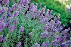 (Lavandula) A delight to the nose as well as the eye; just make sure to choose the right species for your climate.