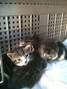 kittens - 3 tabby and white paws 4-2012 by momiecat, via Flickr