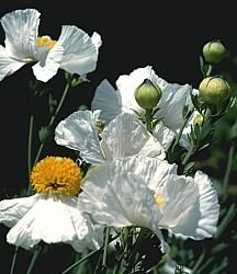 Romneya coulteri at San Marcos Growers Long Blooming Perennials, Sun Perennials, Purple Perennials, Small Shrubs, Australian Garden, Climbing Vines, White Gardens, Back Gardens, Summer Flowers