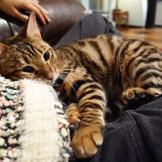 My name is Pippa Hathaway, I'm a rare toyger kitten living in California. I was bred to look like a mini tiger. Toyger Cat, National Cat Day, Amor Animal, Bengal Kitten, Cat Whisperer, F2 Savannah Cat, Exotic Cats, Exotic Shorthair, Cat Photography