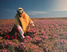 A poster showing a woman harvesting saffron crocuses.  Found on the wall of a saffron shop is Mashhad, Khorasan province, Iran.
