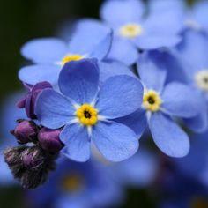 Forget Me Not Flower- Alaska's State Flower