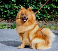 Mittelspitze - German Spitz (medium) - Red, Chocolate, Black or White