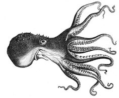 Black and white octopus drawings to download Black And White Posters, Black And White Prints, Black And White Drawing, Octopus Images, Octopus Pictures, Octopus Species, Norse Legend, Octopus Drawing, Octopus Painting