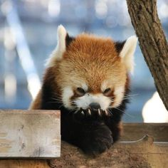 I ❤red pandas Scary Animals, Cute Funny Animals, Cute Baby Animals, Animals And Pets, Red Panda Cute, Panda Love, My Spirit Animal, Cute Creatures, Animal Quotes
