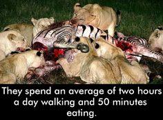 #AfricanLions #LionsFacts #WildAnimals #WildLife